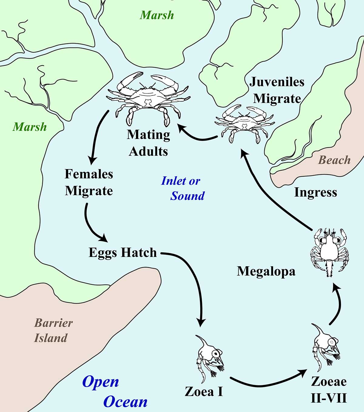 Map of Blue Crab Life Cycle