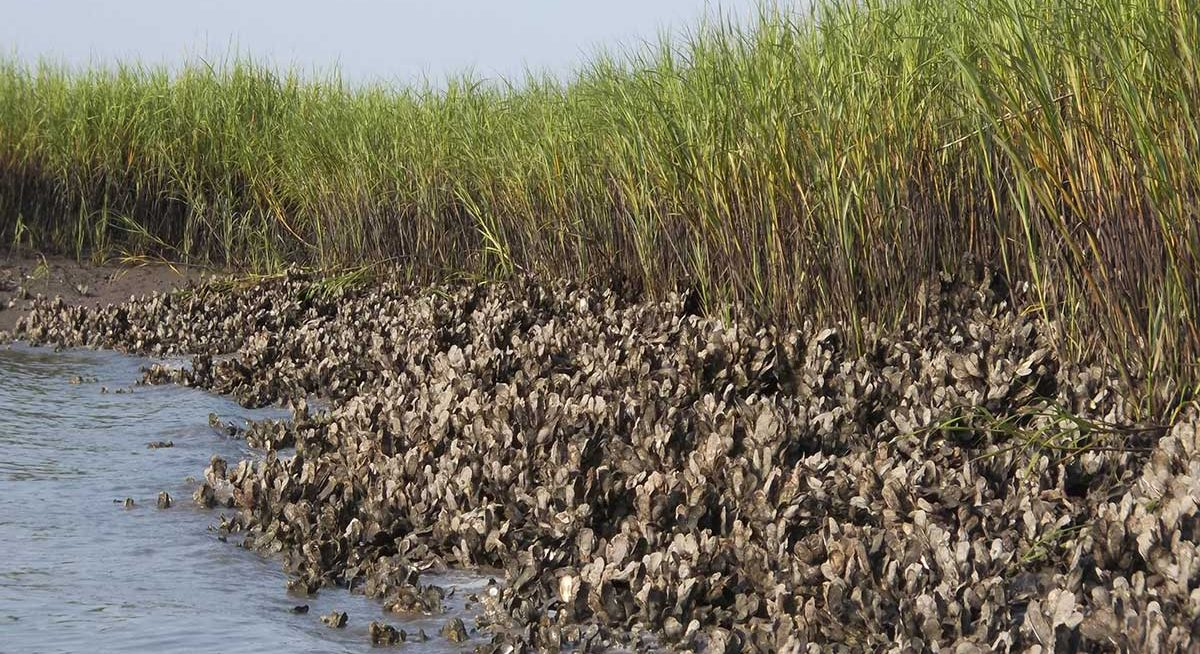 Section of an oyster reef