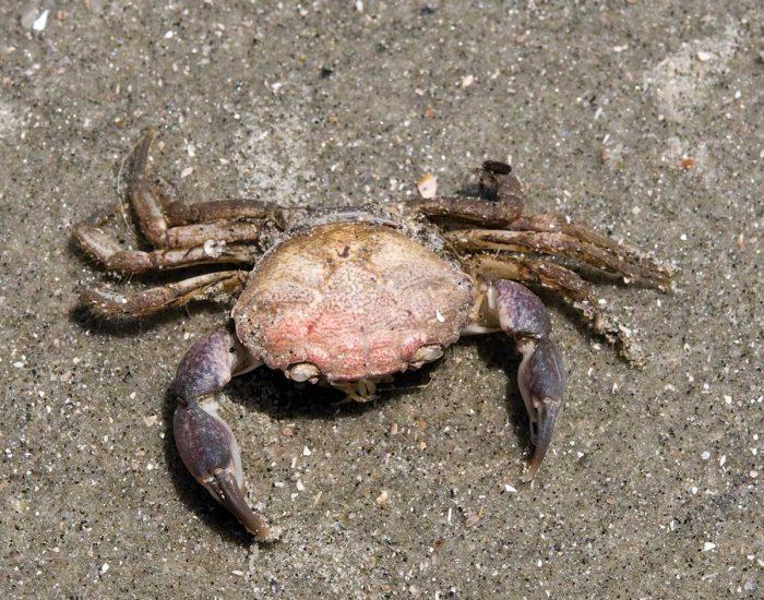 Atlantic Mud Crab on sand