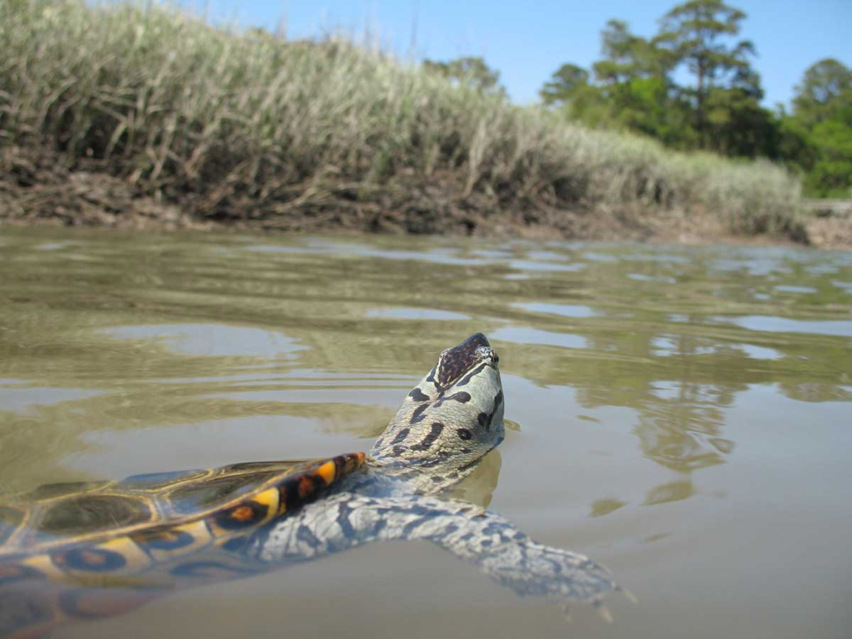 Diamondback terrapin in a tidal creek