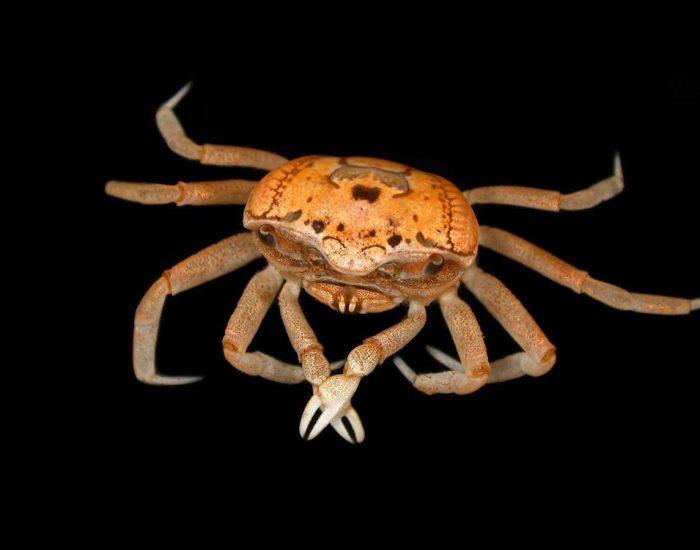 Female Sand Fiddler Crab