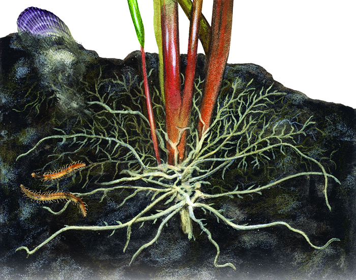 A cutaway picture showing Spartina roots and rhizomes.