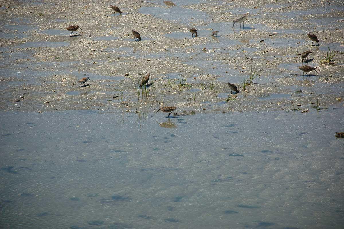 Birds probing for prey in the marsh.