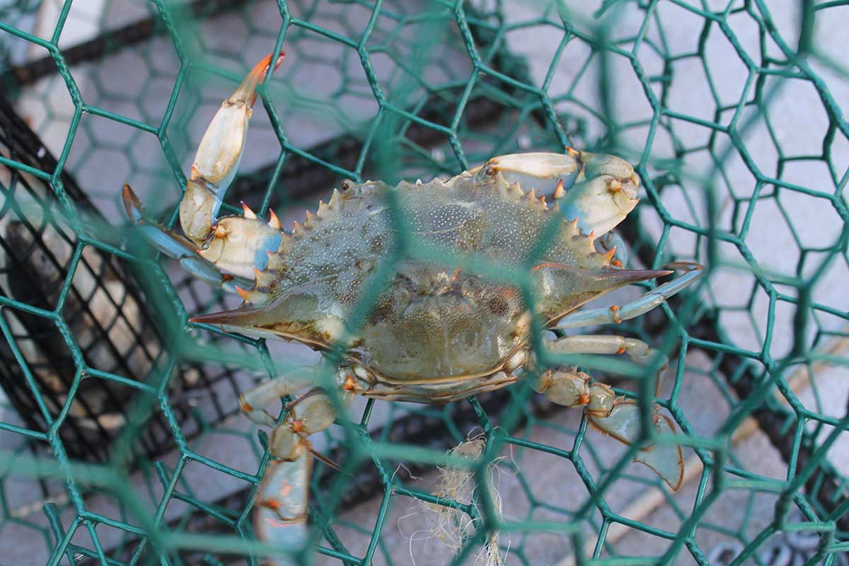 Blue crab in trap.