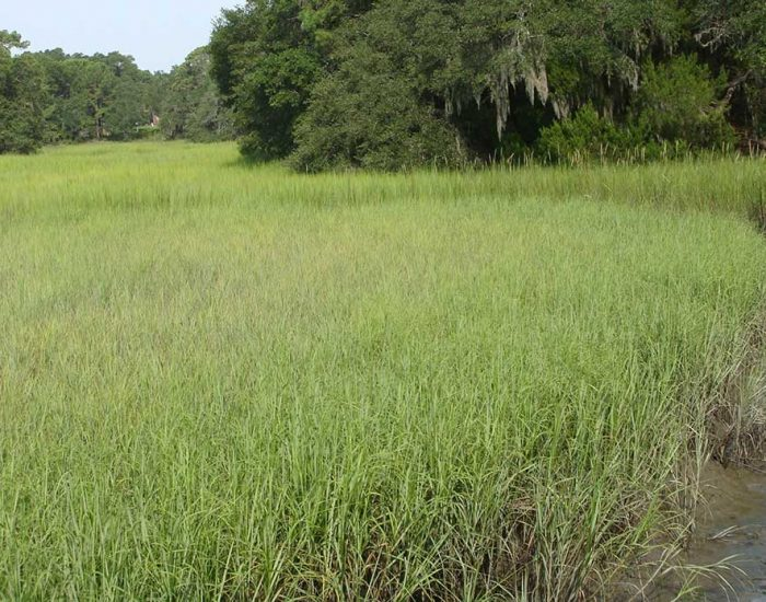 Salt marsh in the summer. The Spartina grass is completely green.