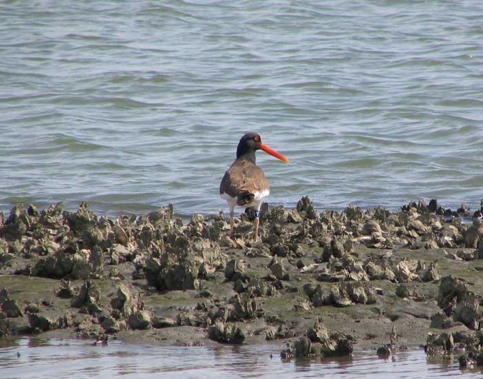 American oystercatcher standing on an oyster bed.
