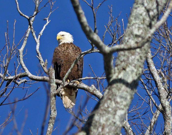 American balg eagle in a tree.