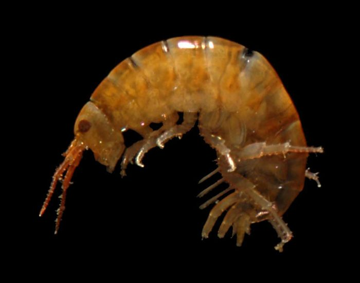 An amphipod, a small shrimp-like creature.