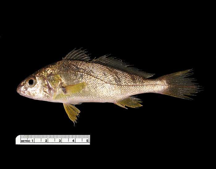 Atlantic croaker fish.