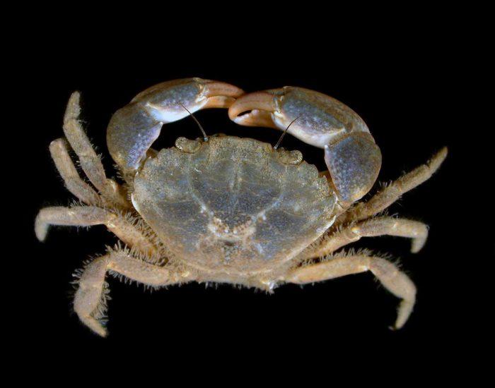 Atlantic mud crab.