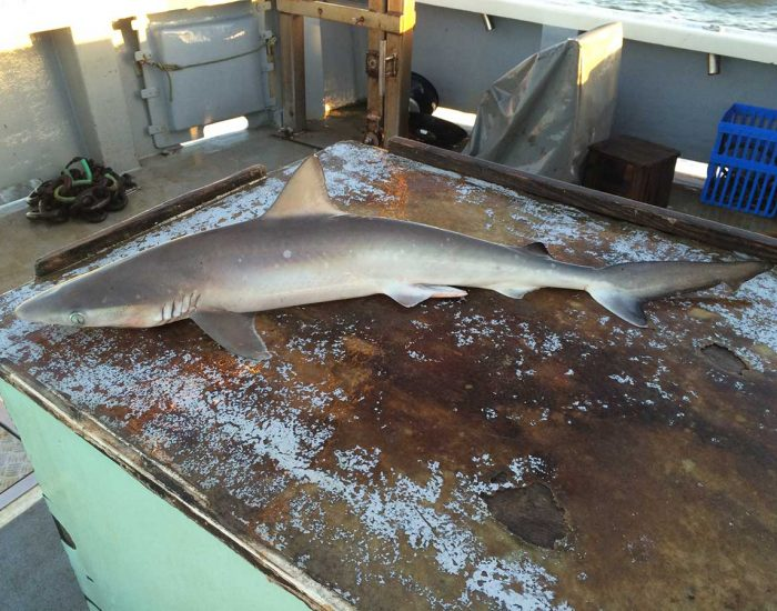 Atlantic sharpnose shark on a table.