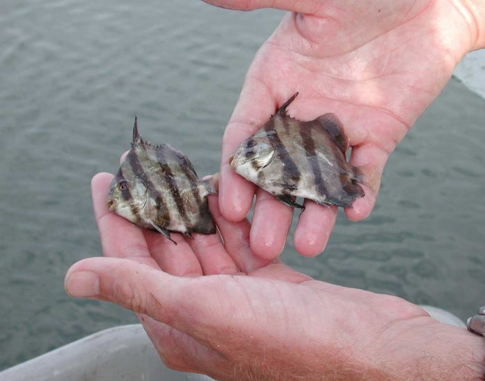 Two Atlantic spadefish being held in hands with water in the background.