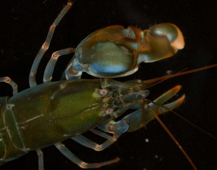 A closeup of a big clawed snapping shrimp, showing one claw larger than the other.