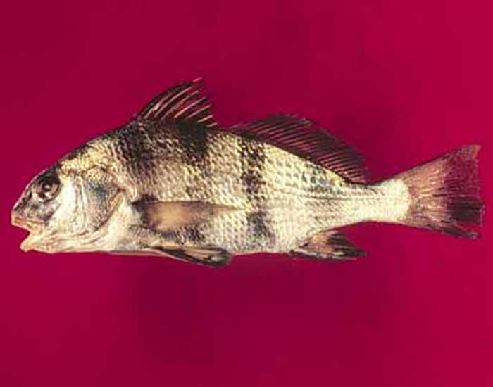 Black drum fish.