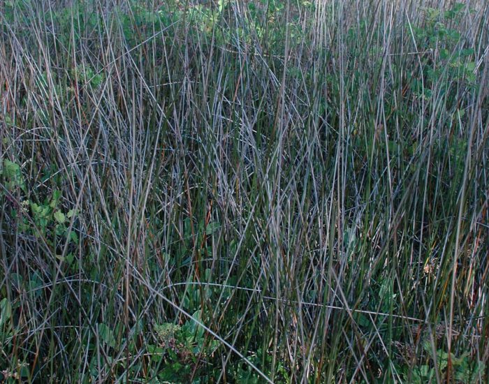 A field of black needlerush grass.