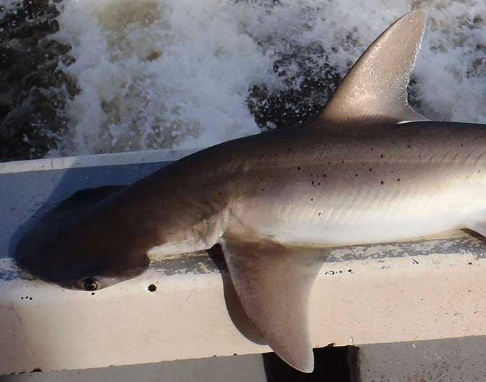 Bonnethead shark on the bow of a boat, showing the flattened head.