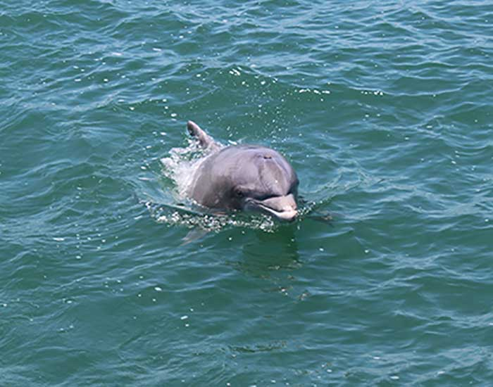 A bottlenose dolphin with its head out of the water.