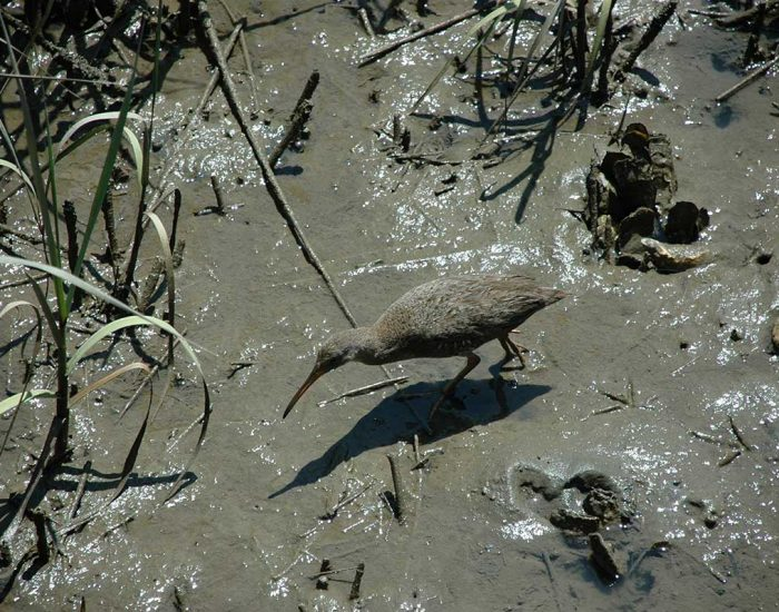 A clapper rail bird with a long beak hunts in marsh mud. It is the same color as the mud, blending in.