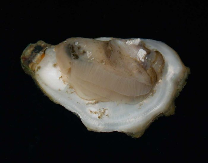 A singular Eastern oyster, shell open to see the animal inside.