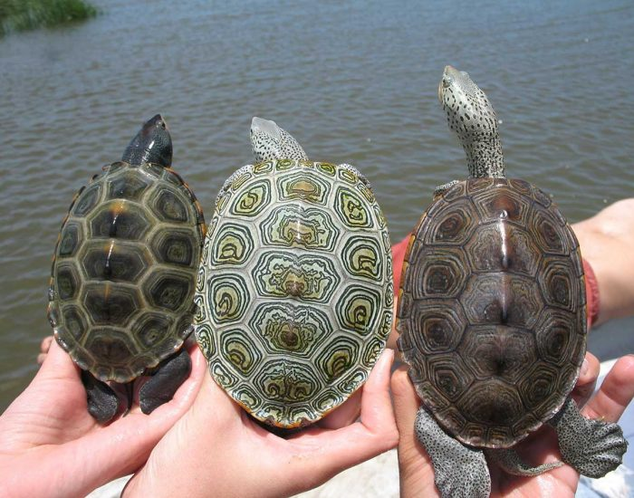 Three diamondback terrapins being held in hands in front of the water show the wide variation in the patterns on their shells.