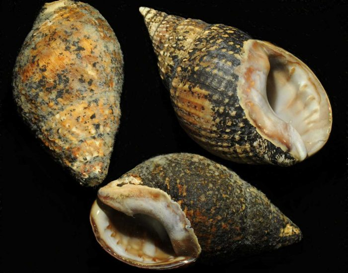 Three Eastern mud snail shells shown from different angles to see the pointed top and the inside.