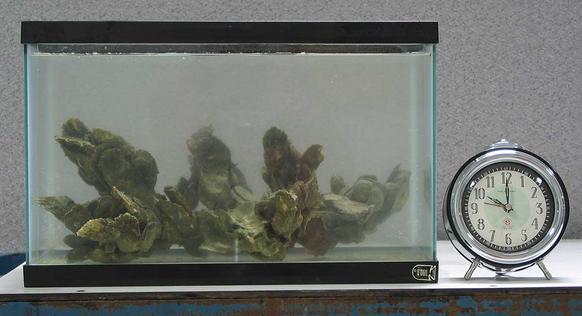 A clump of oysters in an aquarium filled with fairly clear water. A timer next to the aquarium reads 10:00..