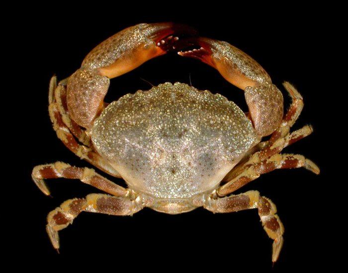 A Florida stone crab.