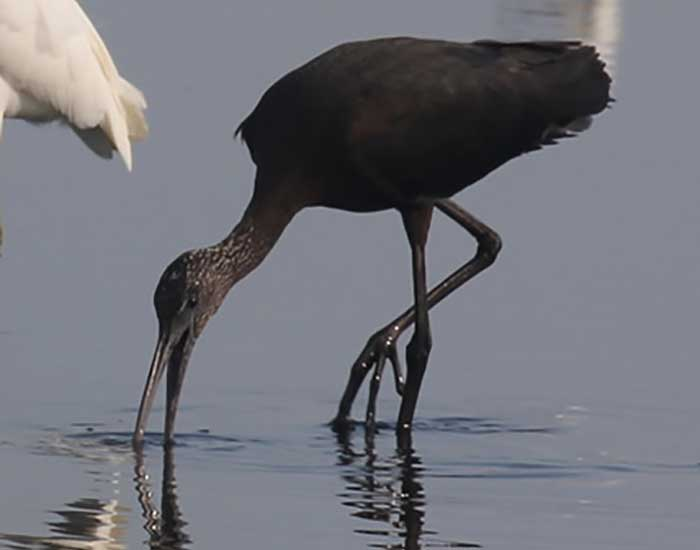 A glossy ibis, a bird with long legs and a long beak. It is bending to eat from the water.