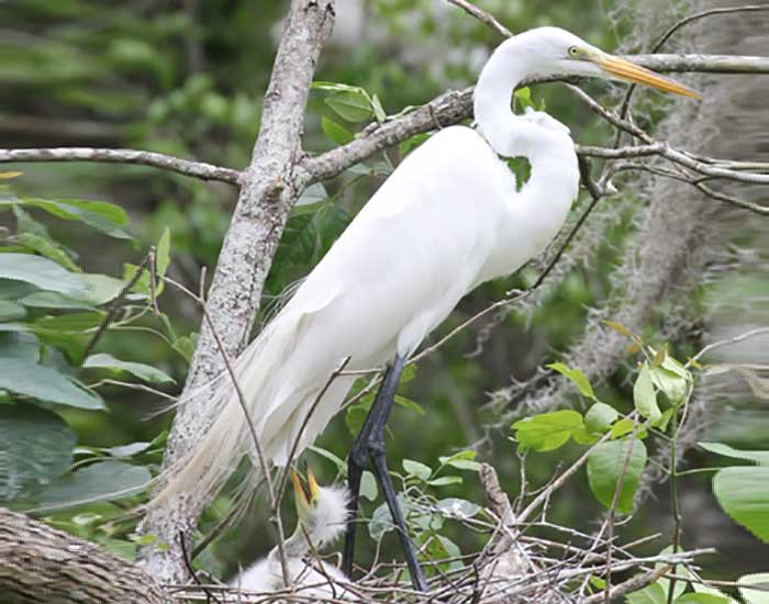A great egret, a large bird with a curved neck and long legs and beak, stands above a nest with a fluffy chick.