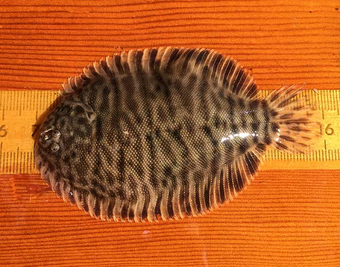 A hogchoker fish on a ruler, it is a round and flat fish with a small tail and eyes on the top.