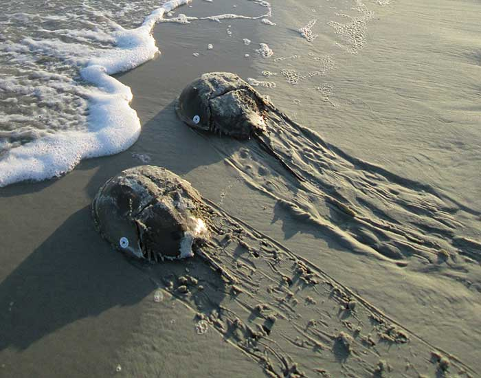 Two horseshoe crabs approaching the ocean. They have rounded shells and a long tail, and leave a trail behind them in the sand.