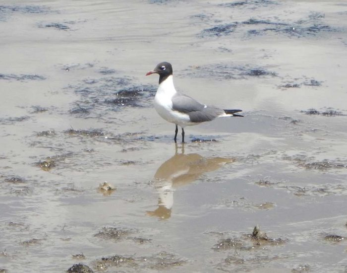 A laughing gull bird stands with its feet in the mud.