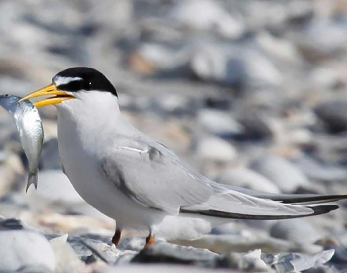 A least tern. This small bird stands on an oyster bed, holding a small fish in its beak.