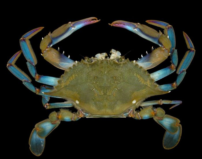 A lesser blue crab.
