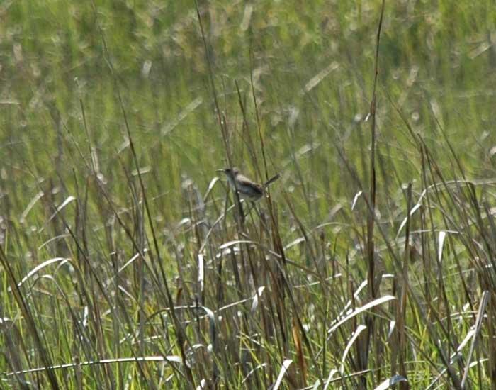 A marsh wren perching on Spartina grass.