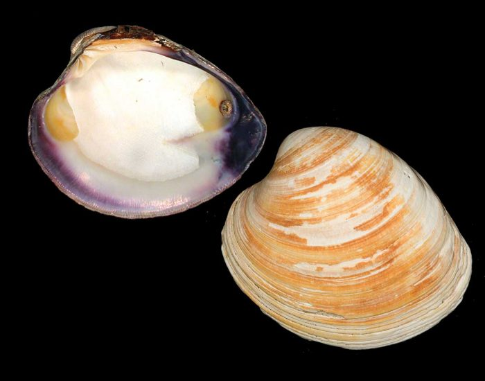 Two halves of mercenaria clam shell, showing the top and inside.