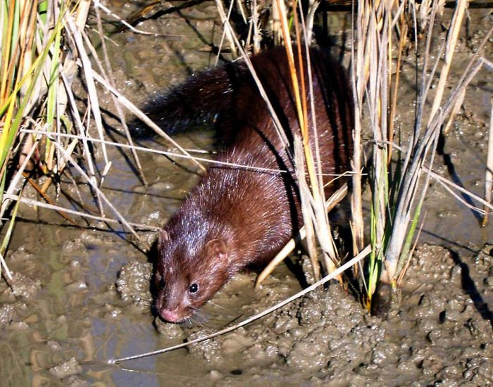 A mink in a salt marsh. It is a small mammal with a tail.
