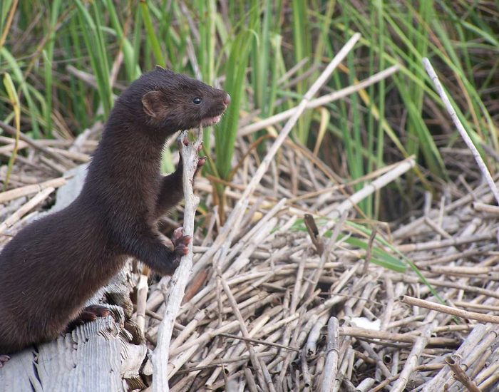 A mink looks out over dead Spartina grasses in a marsh.