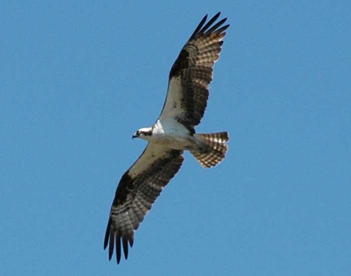 Osprey flying, seen from below.
