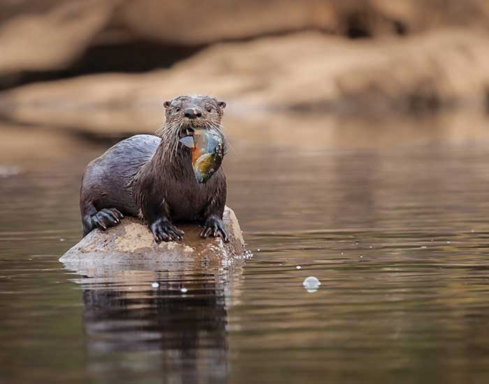 A North American river otter perches on a rock with a fish in its mouth.