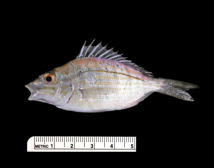A pinfish with a large ridged fin.