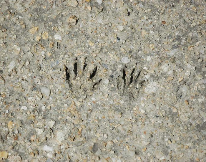 The tracks of a raccoon in the mud. They are small paw prints.