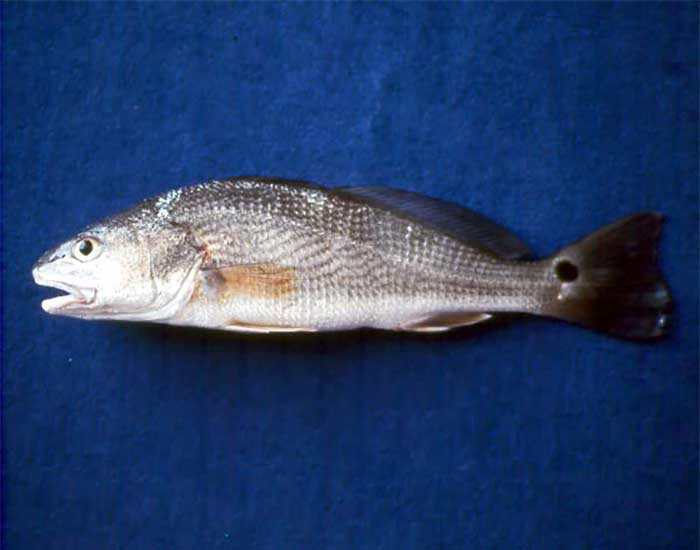 Red drum fish. It has a small spot on its tail.