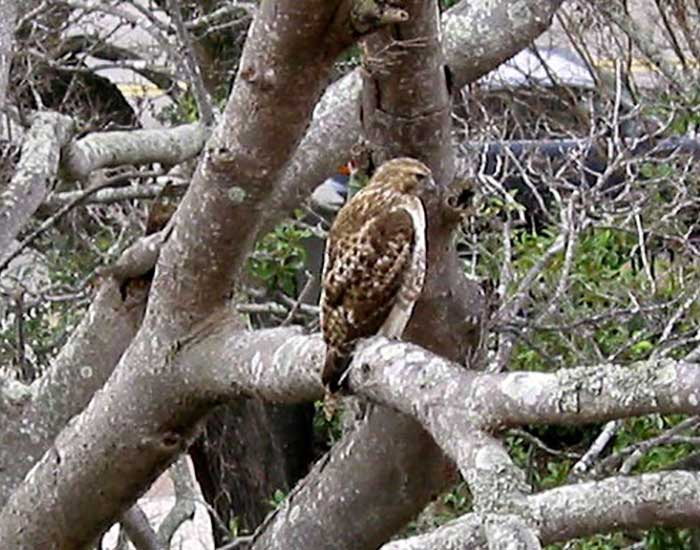 Red tailed hawk perched in a tree.