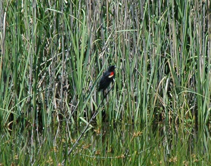 Red-winged blackbird perching on Spartina grass.