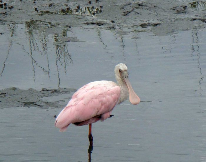 A roseate spoonbill, a bird with long legs and a spoon-shaped bill, stands on one leg in the marsh water.