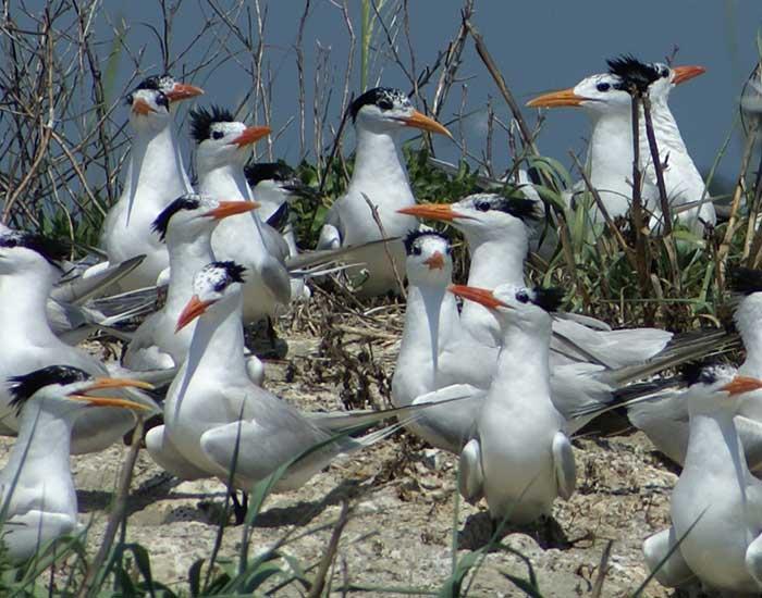 A flock of royal terns gathered on a beach.