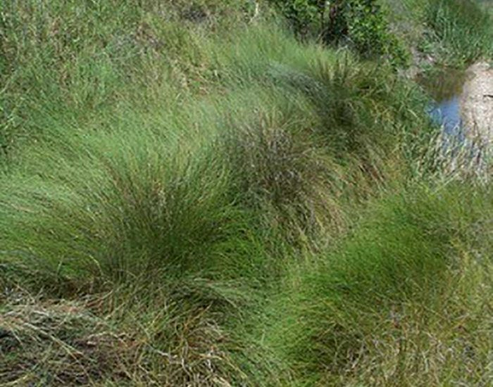 Saltmeadow cordgrass, a dense grass growing on the bank of a tidal creek.