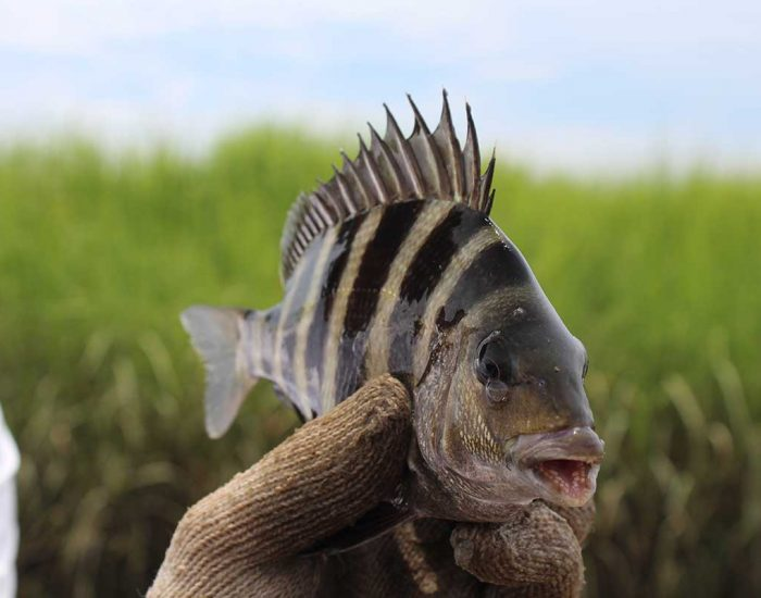 A sheepshead fish held in a gloved hand. Its body has dark bars, and the prominent dorsal fin is spiked.