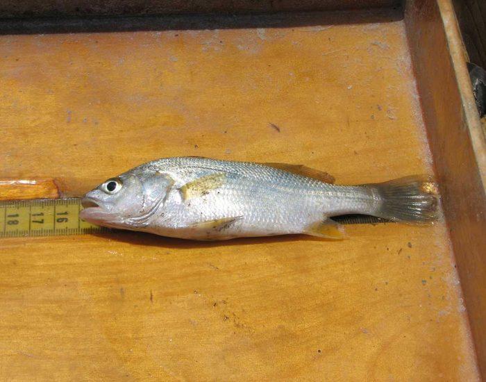 A silver perch fish.